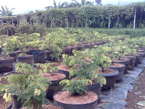 Bakalan Bonsai Asem Jawa dadan s bonsai tehnik pemerograman akar untuk bakalan