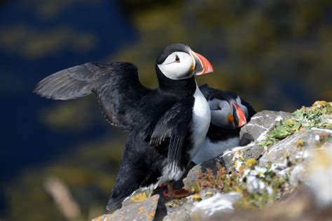 jersey s atlantic puffin population a last chance to see