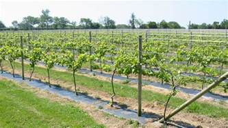 Training Grape Vines Pergola by Trellis With Grape Vines Viewing Gallery