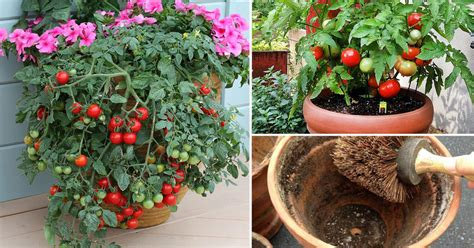 best tomato plants for container gardening 13 basic tomato growing tips for containers to grow best