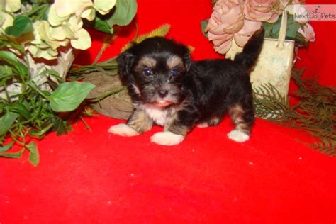havanese puppies for sale near me havanese puppy for sale near cleveland ohio 59fc34aa 3c91