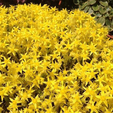 piante grasse fiorite da esterno sedum acre yellow