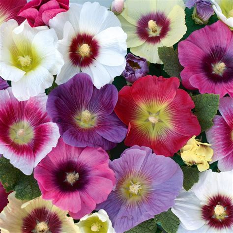 Exquisite Homes by Flower Homes Hollyhocks Flowers