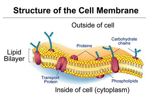 cell membrane controls  enters  exits  cell
