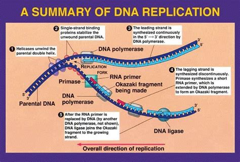 dna replication diagram dna replication resources diagram revision from