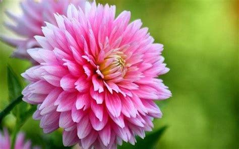 solitario dei fiori fiori compleanno regalare fiori quali fiori scegliere