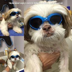 shih tzu cataracts 1000 images about my diabetic dogs on diabetic diabetes and