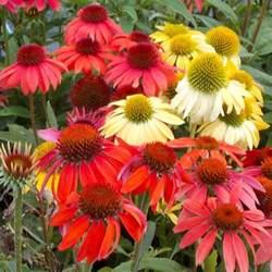 coneflower colors premier plant solutions