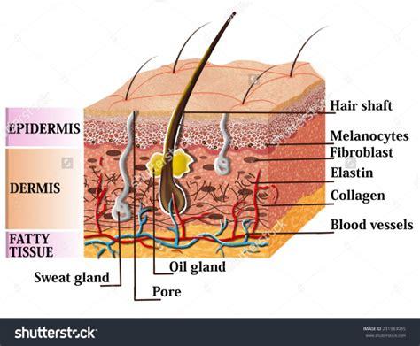 skin anatomy diagram labeled ppp pigments freckles sunspots melasma hori s nevus