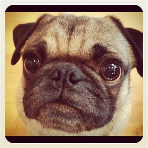 happy pug day happy hump day pugs henry the rescue pug