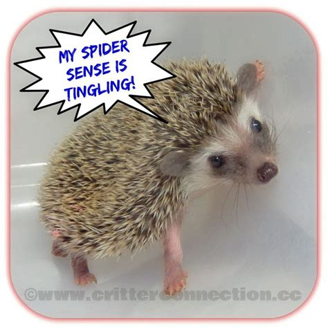 Hedgehog Meme - hedgehog meme spiderman millermeade breeder hedgie