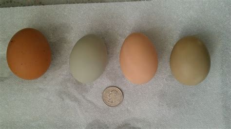 buff orpington egg color backyard chickens
