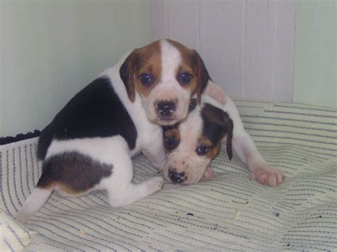 beagle mix puppies for sale beagle puppy pictures and information breeds picture
