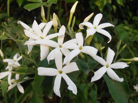 imagenes flores jazmin el jazm 237 n la flor del perfume taringa