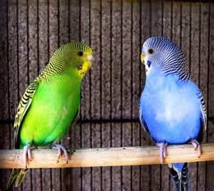 Harga Pakan Burung Fancy cara merawat burung parkit dan racikan makanannya