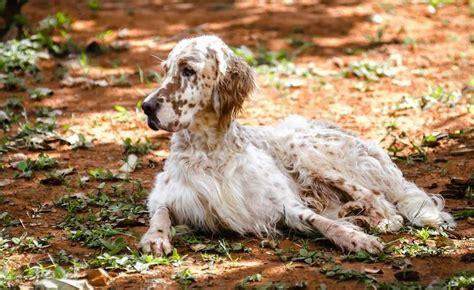 spanish setter dog english setter dog breed information and images k9