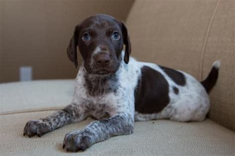 german shorthaired pointer puppies ny new york for sale puppies for sale