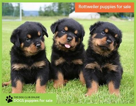 rottweiler puppies for sale in nd 25 best ideas about rottweiler puppies for sale on german rottweiler