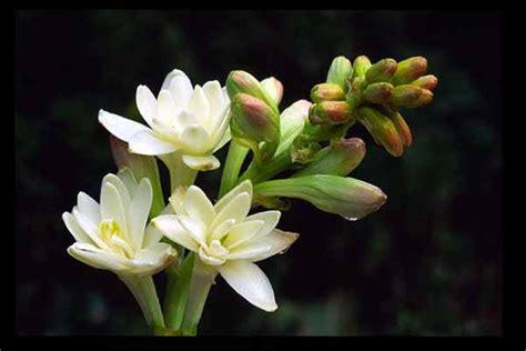 Maryam Melati flower picture tuberose