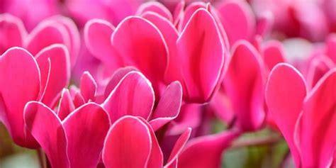 coltivazione ciclamino in vaso ciclamino come coltivarlo in vaso o in giardino greenme