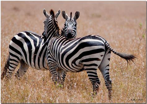 google images zebra zebra google rhodesian ridgeback