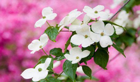 North Carolina Flower by North Carolina State Flower Cornus Florida Jpg