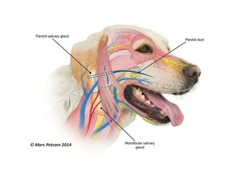 dogs glands salivary glands overview anatomy physiology wikivet