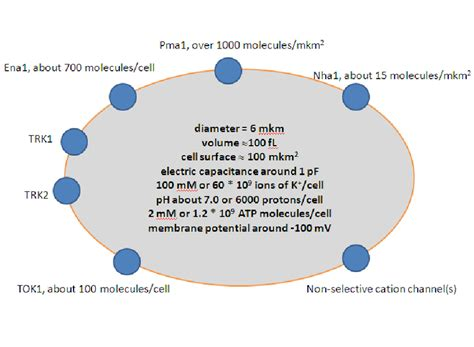 simplified scheme  transport systems  plasma membrane