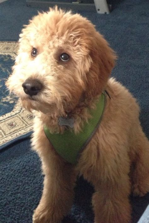 mini ozzy doodle look at those bentley mini goldendoodle
