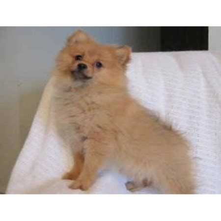 pomeranian shelter near me teddy puppies rescue wisconsin breeds picture