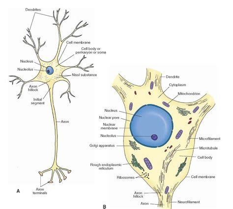 schematic representation   neuron  note