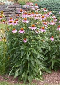 purple coneflower umass amherst greenhouse crops and