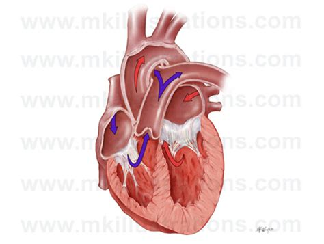 cross section of a heart mkillustrations medical illustrations