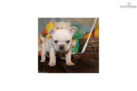 pug puppies for sale calgary pug mix puppies for sale in de md ny nj philly dc and baltimore breeds picture