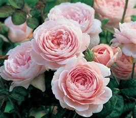 David Roses Sale David Roses On Sale Now Heirloom Roses