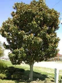 magnolia tree statue tree