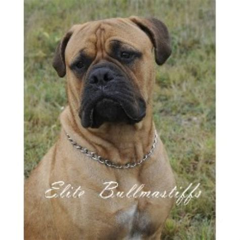 bullmastiff puppies for sale nc bullmastiff brindle breeds picture
