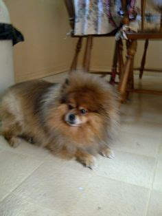 pomeranian hair falling out 1000 images about cossette pomeranian on pomeranians tiny and