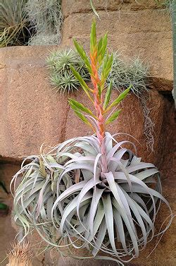 Gifts From The Kitchen Ideas tillandsia xerographica bristol farms