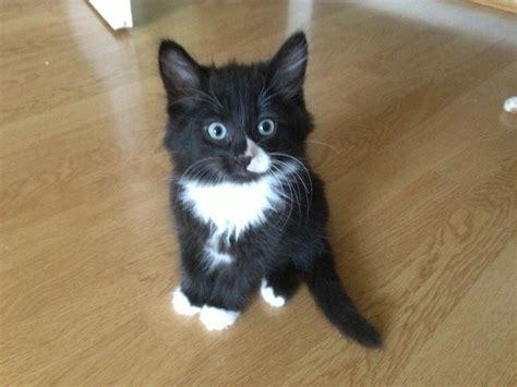 black and white kitten long haired black and white kitten doe sale waltham