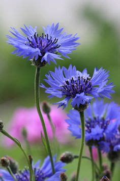 corn flower blue flower inspiration design tatto designs and flower images on pinterest