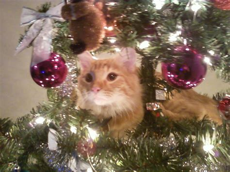 that is my cat christmas tree climbing o christmas tree