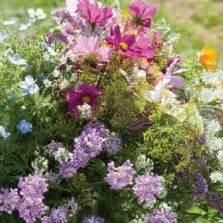 Bibit Bunga Chamomile bibit bunga kancing kenop