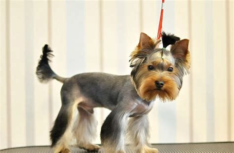 male yorkie haircuts male yorkie hairstyles hairstyles by unixcode