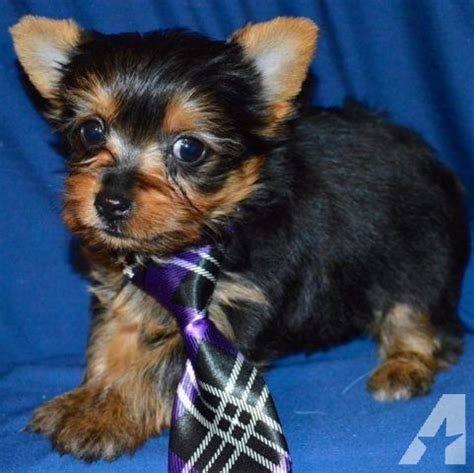 yorkie puppies for sale in greensboro nc yorkies for sale in greensboro carolina classified americanlisted