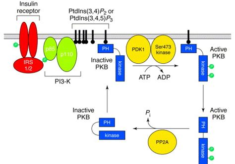 protein kinase b regulation of protein kinase cascades by protein