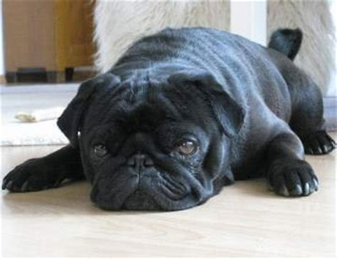 how are pugs in heat pug heat pug dogs and the heat cycle