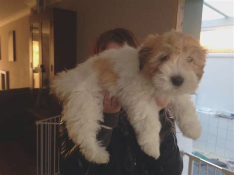 humane society puppies for sale is coton de tulear puppies for sale still relevant coton