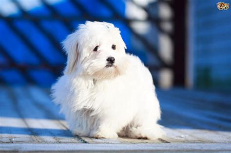 puffball puppy 3 gorgeous puff breeds pets4homes