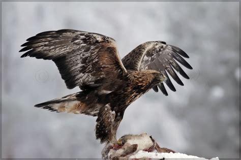 do golden retrievers any predators golden eagles flying wallpaper www pixshark images galleries with a bite